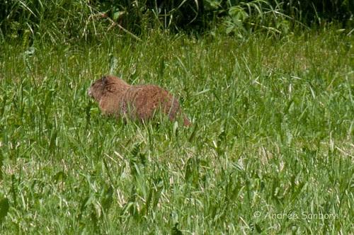 Glover Woodchuck (Marmota monax)-4.jpg