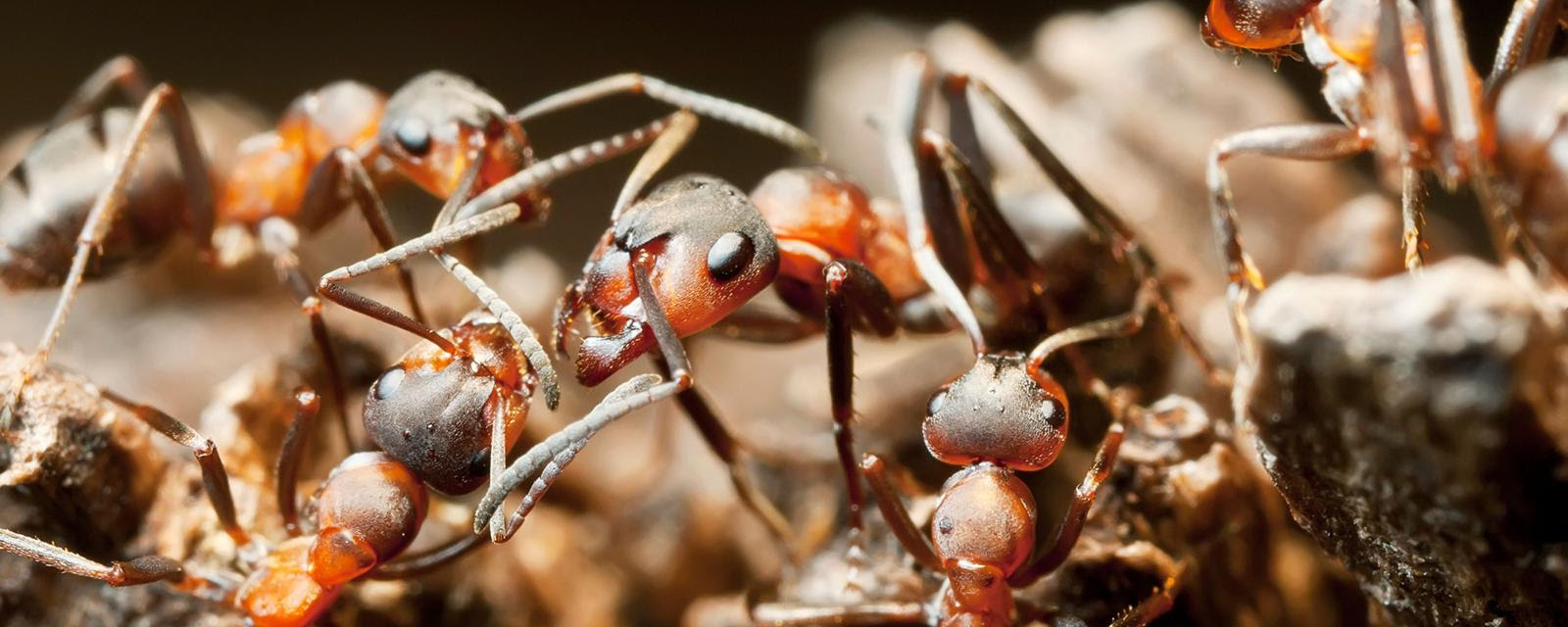 Blood-red ants (Formica sanguinea) (Credit: Juniors Bildarchiv GmbH/Alamy Stock Photo)