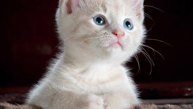 Cómo es el gato Van turco