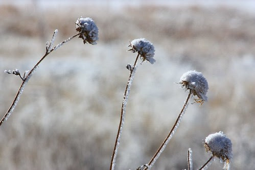 Frosty Sunflower Seedheads
