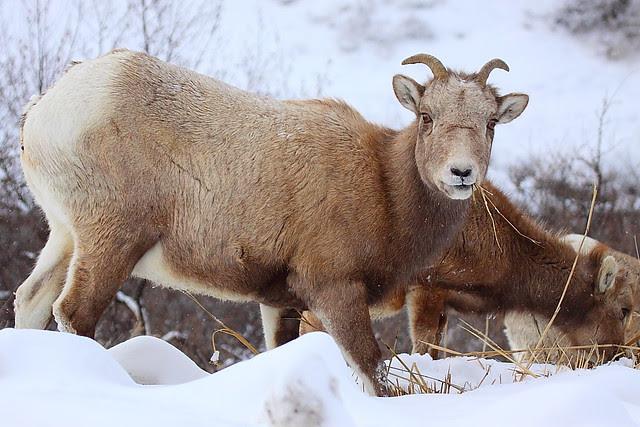 IMG_5097 Bighorn Sheep Ewe, Yellowstone National Park