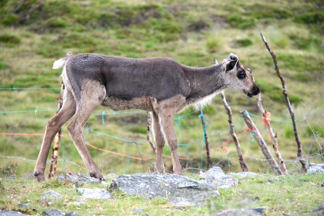 IMG_4854 reindeer