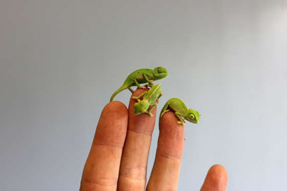 More than 20 veiled baby chameleons hatched in March 2015. About five centimetres long, they are the first born at the zoo in over five years. The native of Yemen and Saudi Arabia, they have begun feeding on crickets and turning on a bright green colour display for keepers.