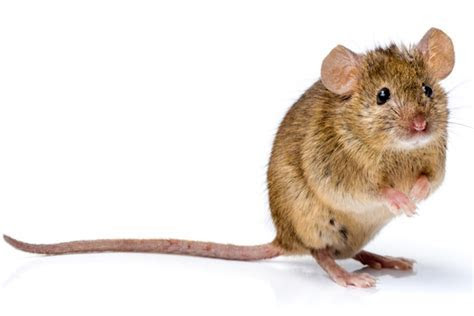 What Kinds of Rodents Get Into Your House?   Plunkett?s Pest Control