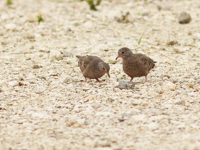 Common Ground-Doves 20130804