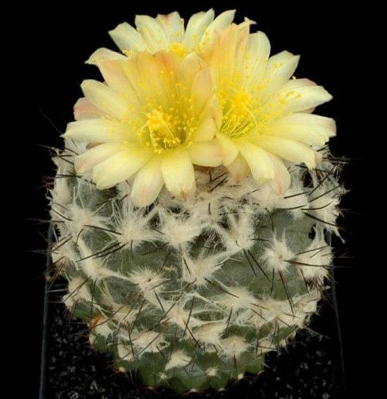 cactus-flowers- (3)