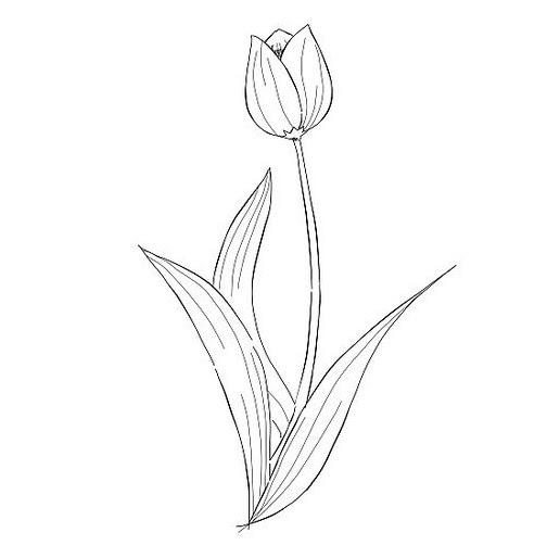 Gambar Bunga Tulip Sketsa