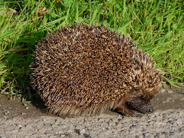 24590 - Hedgehog, Isle of Mull