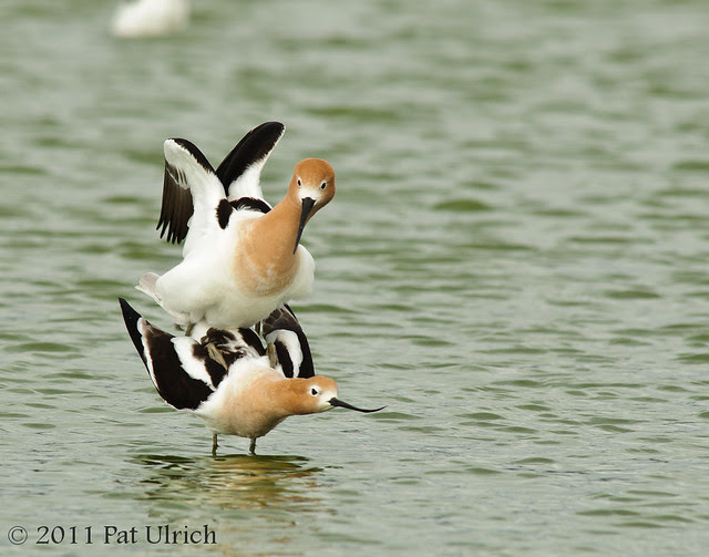 American avocet copulation - Pat Ulrich Wildlife Photography
