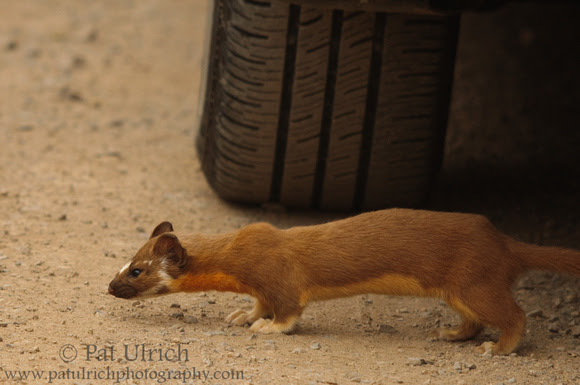 Photograph of a long-tailed weasel checking out the tire of a car
