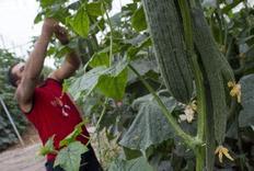 Αγρότης μαζεύει αγγουράκια σε θερμοκήπιο στην περιοχή της Αλμερίας, στη νοτιοδυτική Ισπανία.