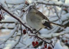 Icy mockingbird