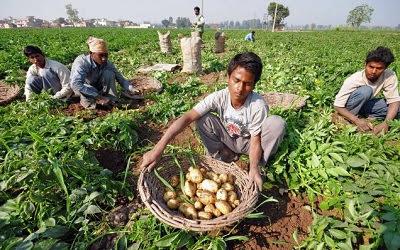 punjab potato 1