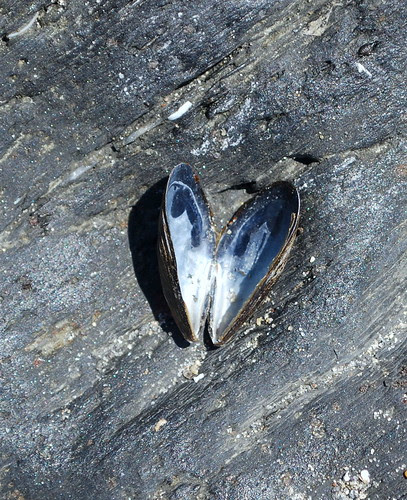 Watsons Farm heart shell
