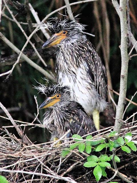 Yellow-crowned Night-Heron nest 22 nestlings 3-20130602