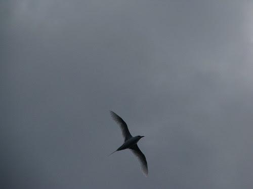 SE Pacific bird