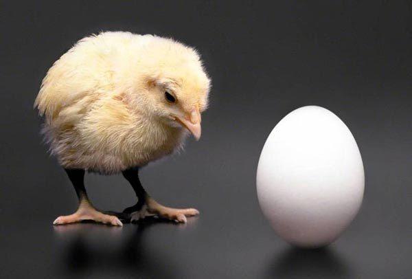 gà, trứng, khám phá khoa học, cá ngựa, sò điệp
