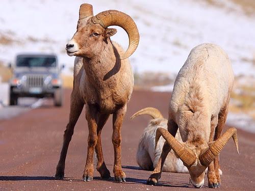 IMG_0169 Bighorn Sheep on the Road, National Elk Refuge