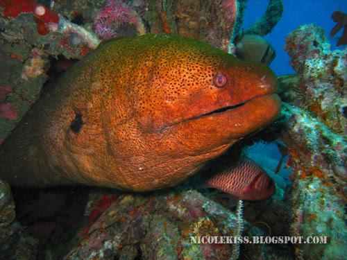 scary looking murray eel