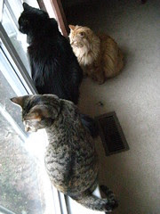 Three cats in the window