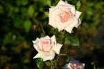 Rose Penny Lane Foto rosendirect