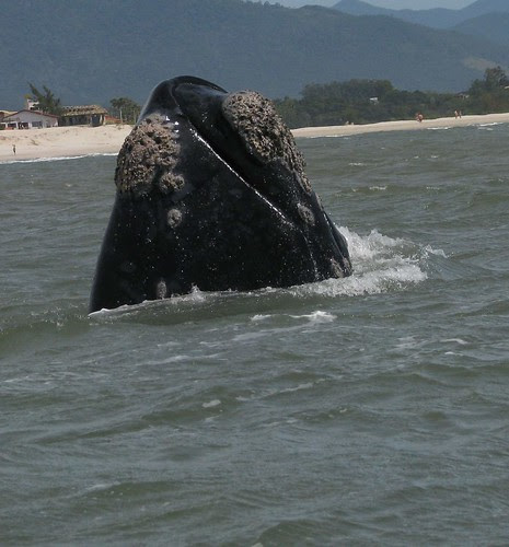 Cabeça de baleia franca