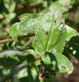 photo of leaf damage on purple loosestrife
