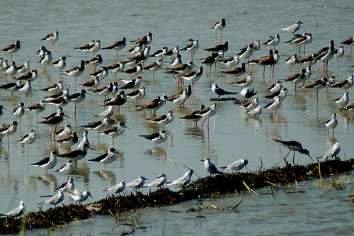 Stilts and Terns