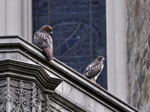 Cathedral RT Fledglings 1 & 2