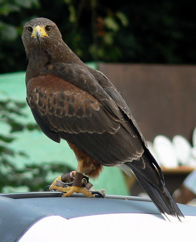 Hawk (5)