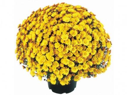 http://grow-my-garden.com/wp-content/uploads/2013/07/Garden-Mum-Atlantico.jpg