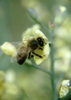 honeybee, bee