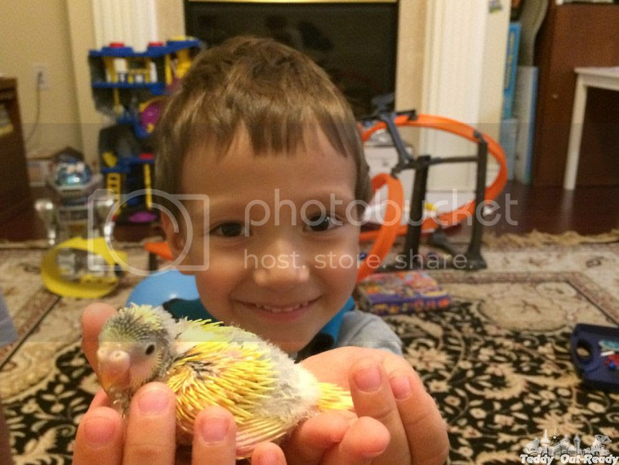Tedd and yellow budgie baby