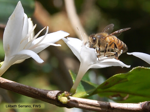 Coffee flower and bee by USFWS/Southeast, on Flickr