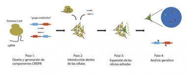 <p>Esquema del experimento desarrollado con CRISPR./ CNIO</p>
