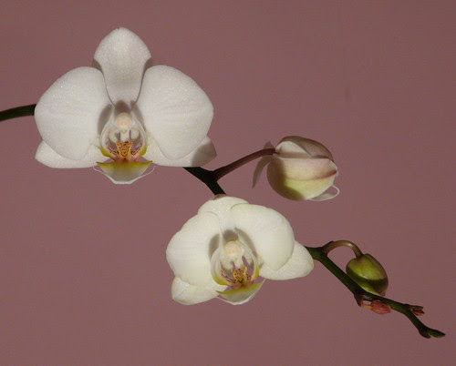 White Orchid by Gabludlow, on Flickr