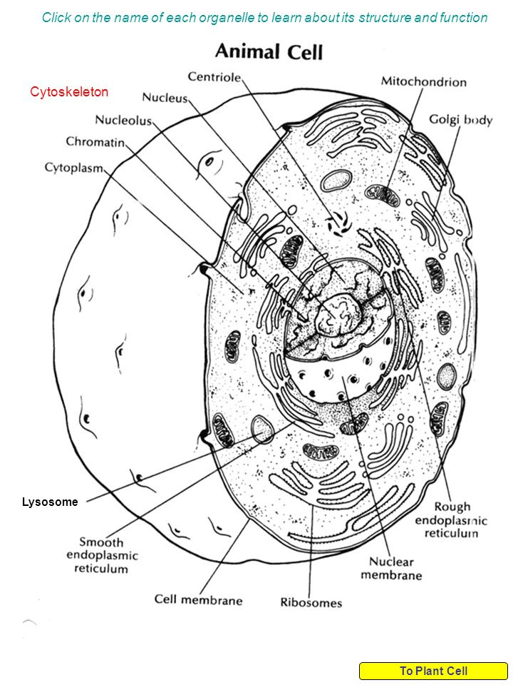 which organelle should be listed under both in the diagram