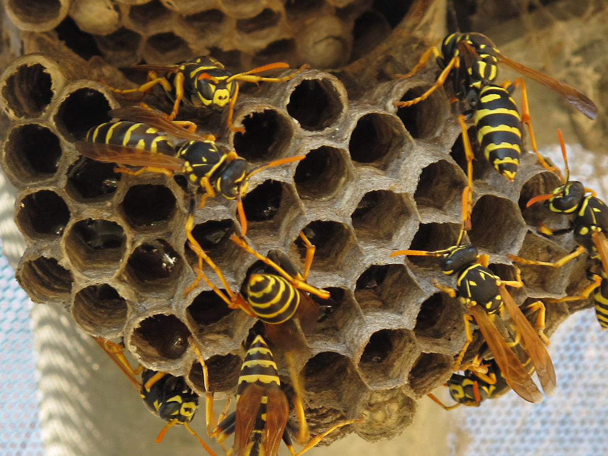 Image result for wasps nest