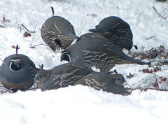 foraging fat quail