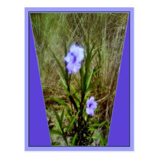 Purple Mexican Petunia Flowers Postcard