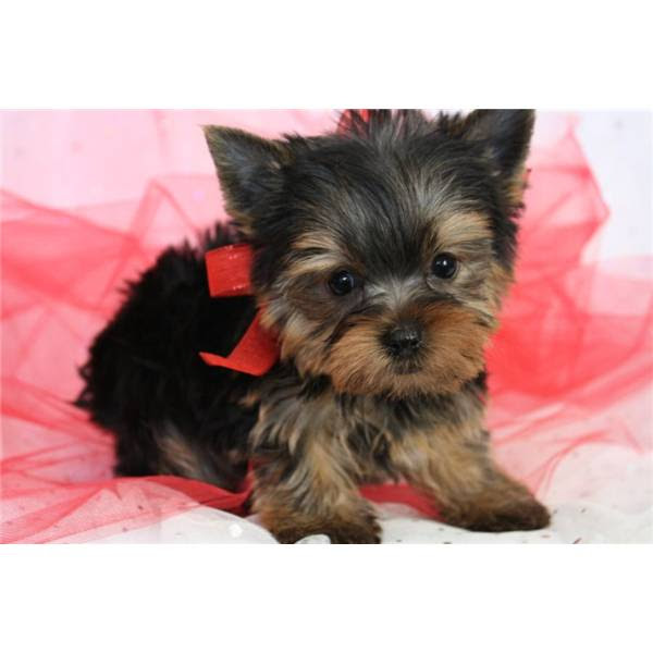 Gorgeous Teacup yorkie puppies  Little Switzerland  Dogs for sale, puppies for sale