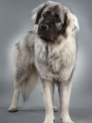 Dog Breed : The Leonberger | Animals and Pets