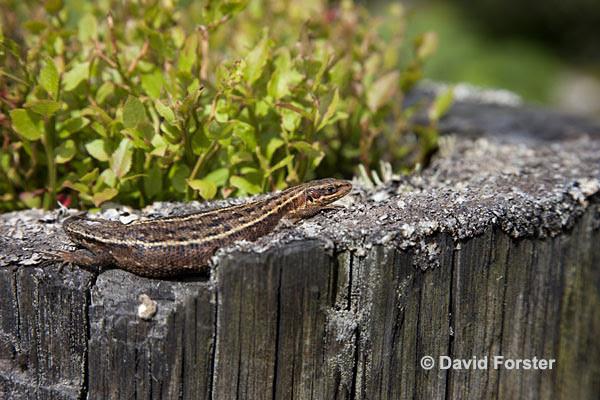 05D-3427 Common Lizard Lacerta vivipara Basking Teesdale County Durham UK