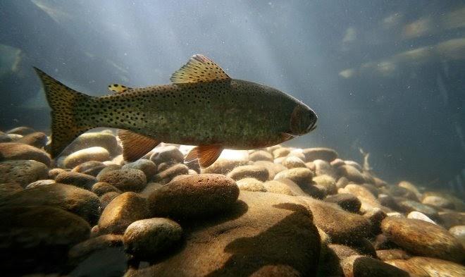 Рыбы из городских рек способны приобрести наркотическую зависимость