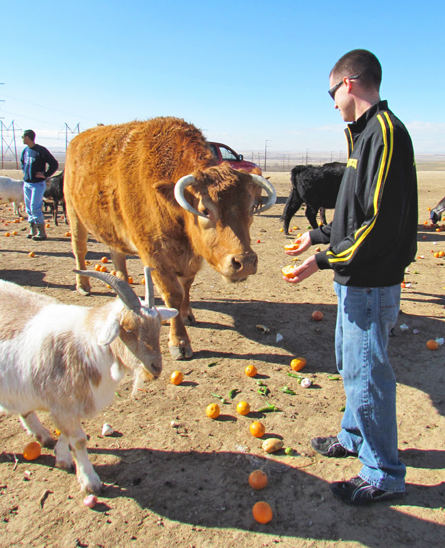 FARM cody feeding cow oranges