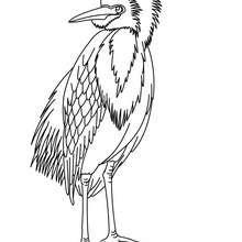 Dibujos Para Colorear Pajaro Carpintero Gallo De Monte Es