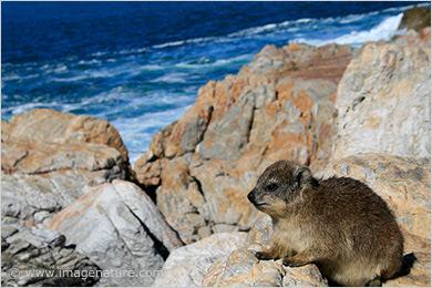 Cape Hyrax, Rock Hyrax (Procavia capensis)