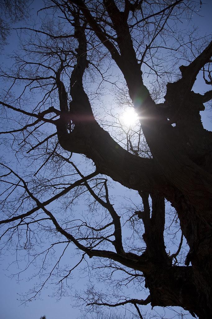 towering tree
