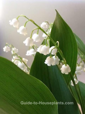 Lily Of The Valley Flowers Tips For Growing Lilies In Pots