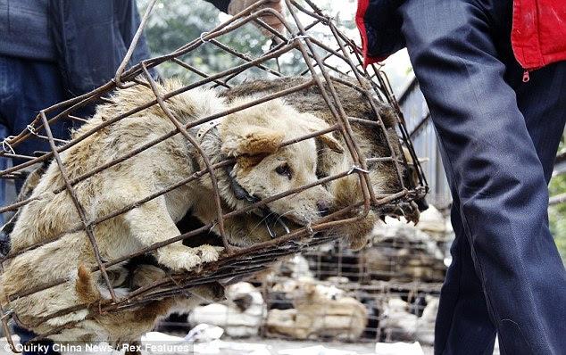 Cagey affair: Mais de 1.500 cães foram amontoados na medida em que não poderia mesmo ficar
